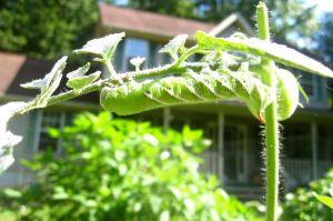 Tomato Hornworm - Manduca quinquemaculata