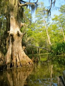 Tupelo (Black Gum) Tree - New Orleans, LA
