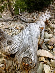 A downed tree in Great Basin National Park, NV